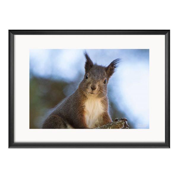 Squirrel, Photography Framed Art Print by Raina Sind
