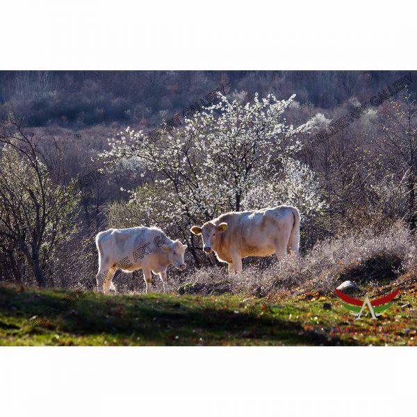 Cows, Digital Photo - Stock Image