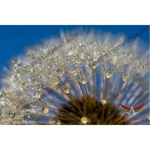 Dandelion, Digital Photo - Stock Image