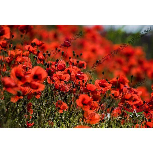 Poppies, Digital Photo - Stock Image